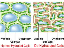 normal-dehydrated-cell1